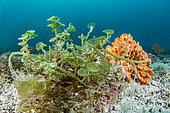Flattop seagrape (Caulerpa peltata), Maskali island, Gulf of Tadjoura, Djibouti