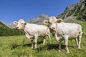 Herd of Charolais cows, Drac valley of Champoléon, Champsaur, Écrins National Park, Hautes-Alpes, France