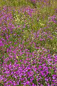 Sequier's Pink (Dianthus seguieri), Drac valley of Champoléon, Champsaur, Ecrins National Park, Hautes-Alpes, France