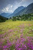 Hamlet the Clots, Sequier's Pink (Dianthus seguieri), Drac valley of Champoléon, Champsaur, Ecrins National Park, Hautes-Alpes, France