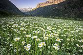 Field of Oxeyedaisy (Leucanthemum vulgare), Prapic, Orcieres, Champsaur, Ecrins National Park, Hautes-Alpes, France