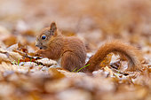 Red Squirrel (Sciurus vulgaris), side view of a juvenile eating seeds on the ground, Masovia, Poland