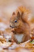 Red Squirrel (Sciurus vulgaris), juvenile eating seeds on the ground, Masovia, Poland