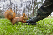 Red Squirrel (Sciurus vulgaris), adult taking seeds from a man's hand, Masovia, Poland