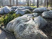 Protection hivernale des Gunnera manicata, Parc Floral Vincennes, Paris, France