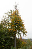 Gas embolism following a drought, in a beech tree, Autumn, Moselle, France