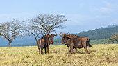 Blue wildebeest (Connochaetes taurinus) in Mlilwane wildlife sanctuary scenery, Swaziland