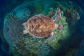 Green turtle (Chelonia mydas) above N'Gouja Reef. The reef of N'Gouja south of Mayotte is extremely beautiful. It crosses suddenly on sea turtles in the middle of the coral potato. Mayotte