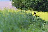 Roe Deer (Capreolus capreolus), Female Roe Deer in rape field, Haut de France, France