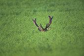 Red Deer (Cervus Elaphus), red deer in a rape field, Haut de France, France