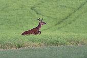 Red Deer (Cervus Elaphus), red deer jumping in a rape field, Haut de France, France