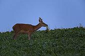 Red Deer (Cervus Elaphus), young red deer eating bettrave leaf, Haut de France, France