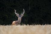 Red Deer (Cervus Elaphus), red deer in wheat field, Haut de France, France