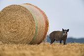 Wild Boar (Sus scrofa), wild boar in wheat field beside a straw stack, Haut de France, France