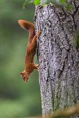 Eurasian Red Squirrel (Sciurus vulgaris) Eurasian Red Squirrel on a tree trunk, Foret of Compiègne, Haut de France, France