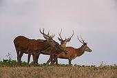 Red Deer (Cervus Elaphus), group of red deer eating beet leaves, Haut de France, France