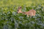 Roe Deer (Capreolus capreolus), young roe deer eating beet leaf, Haut de France, France