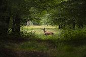 Red Deer (Cervus elaphus), hind in Foret of Compiegne at spring, Haut de France, France