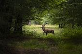 Red Deer (Cervus elaphus), red deer in Foret of Compiegne at spring, Haut de France, France