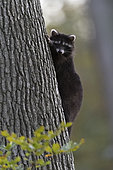 Racoon (Procyon lotor), young racoon climbing a tree in Forest of Compiègne, Haut de France, France