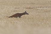 Red Deer (Cervus elaphus), female red deer jumping in wheat field, Haut de France,France