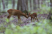Roe Deer (Capreolus capreolus), moment of affection between female roe deer and her fawn in Foret of Compiegne, Haut de France, France