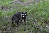 Racoon (Procyon lotor), racoon in Forest of Compiègne, Haut de France, France