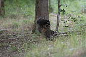 Racoon (Procyon lotor), young racoons playing in Forest of Compiègne, Haut de France, France