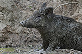 Wild Boar (Sus scrofa), young boar covered with mud in a pool of mud, Compiegne's Forest, Haut de France, France