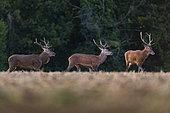 Red Deer (Cervus Elaphus), groupe of males in a field, Compiegne's Forest, Haut de France, France
