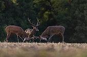 Red Deer (Cervus Elaphus), males fighting, Compiegne's Forest, Haut de France, France