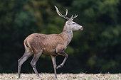 Red Deer (Cervus Elaphus), male, Compiegne's Forest, Haut de France, France