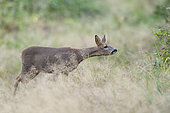 Roe Deer (Capreolus capreolus), female roe deer smelling in a clearing, Compiegne's Forest, Haut de France, France