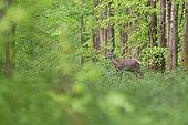 Red Deer (Cervus elaphus), young red deerwaling in Foret of Compiegne at spring, Haut de France, France