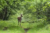 Red Deer (Cervus elaphus), Female red deer walking in Forest of Compiegne, Haut de France, France