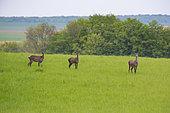 Red Deer (Cervus Elaphus), group of female red deer in field at spring, Haut de France, France