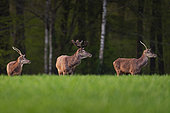 Red Deer (Cervus Elaphus), group deer in wheat field at spring, Haut de France, France