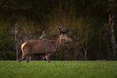 Red Deer (Cervus Elaphus), red deer in wheat field at spring, Haut de France, France