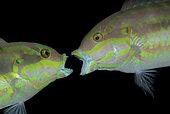 two Slippery Dick wrasse, Halichoeres bivittatus, having a territorial fight. Riviera Beach, Florida. U.S.A. Atlantic Ocean.