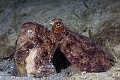 A pair of Common Octopus, Octopus vulgaris, fighting over territory, Riviera Beach, Florida, U.S.A., Atlantic Ocean.