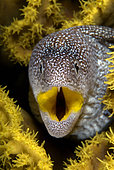 portrait of a Yellowmouth Moray Eel, Gymnothorax nudivomer, Eilat, Israel, Red Sea.