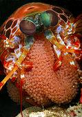 Peacock Mantis Shrimp, Odontodactylus scyallarus, with eggs. Pacific Ocean, Tulamben, Bali, Indonesia