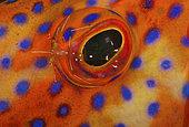 a Cleaner Rock Shrimp, Urocaridella sp., crawls acroos the eye of a Coral Grouper, Cephalopholis miniata, Tulamben, Bali, Indonesia. Pacific Ocean