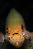 portrait of a Creolefish, Paranthias furcifer, with a pair of attached isopods, Cymothoid sp. Boniare, Netherlands Antilles, Atlantic Ocean.