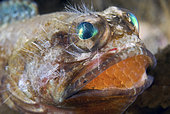 Mottled Jawfish, Opistognathus maxillosus, mouth brooding eggs and suffering from a face full of bristles from a fire worm. Lake Worth Lagoon, Riviera Beach, Florida, U.S.A. Atlantic Ocean.