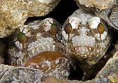 Opistognathe sombre (Opistognathus whitehursti) couple dans le terrier, mâle incubant leurs œufs donnés par la femelle. Riviera Beach, Floride, Océan Atlantique