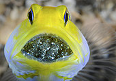 male Yellowhead Jawfish, Opistognathus aurifrons, mouth brooding eggs. Blue Heron Bridge, Riviera Beach, Florida, U.S.A . Atlantic Ocean