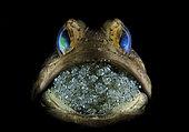 snooted image of a Banded Jawfish, Opistognathus macrognathus, mouth brooding eggs . Blue Heron Bridge, Lake Worth Lagoon, Riviera Beach, Florida, U.S.A . Atlantic Ocean