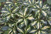 Rhododendron Blattgold
