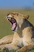Lioness (Panthera leo) yawning, fly infestation, Masai Mara National Reserve, Kenya, Africa